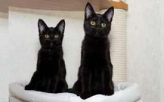 Породы кошек черного окраса с фото