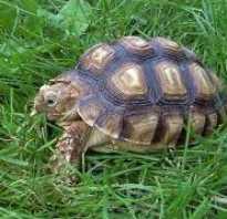Краткое описание черепахи