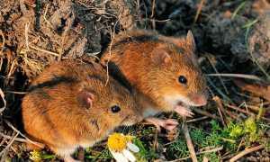 Мышь полевка в домашних условиях