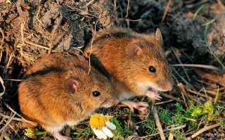Мышка с полосой на спине