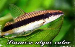 Аквариумные рыбки водорослееды фото и название