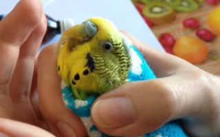 Волнистый попугай стучит клювом