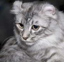 Порода кошек серо белого окраса