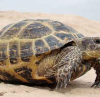 Греческая черепаха виды