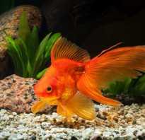 Как правильно содержать золотых рыбок