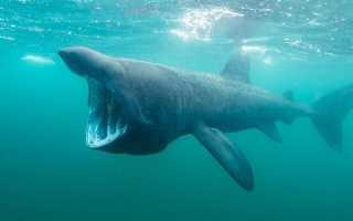 Гигантская китовая акула