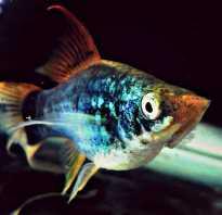 Пецилия аквариумная рыбка
