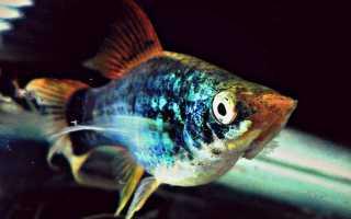 Рыбка пецилия фото и описание