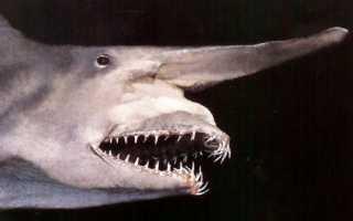 Картинки акулы гоблин