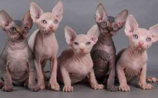 Разновидности сфинксов кошек
