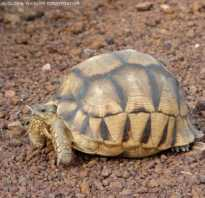 Мадагаскарская черепаха фото