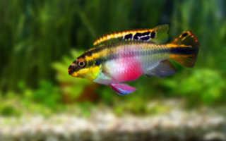 Пульхеры аквариумные рыбки