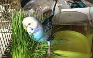 Трава для попугаев волнистых