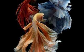 Как ухаживать за рыбой петухом