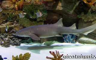 Акула нянька почему так называется
