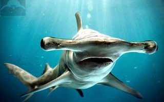 Скелет акулы молот