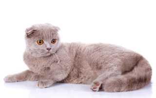 Шотландская вислоухая вязка с каким котом