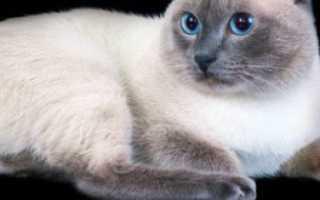 Меконгский бобтейл кошка