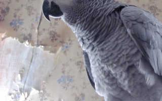 Попугаи домашние питомцы