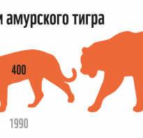 Амурские тигры исчезающий вид