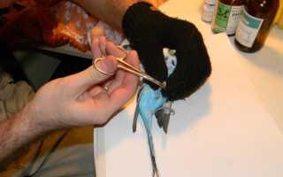 Можно ли подстричь когти попугаю