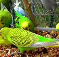 Что кушают волнистые попугаи кроме корма