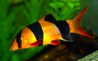 Рыбка боция клоун содержание