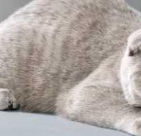 Какие окрасы бывают у шотландских кошек