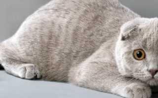 Окрас шотландских вислоухих кошек название
