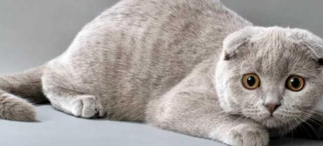 Виды окрасов шотландских кошек