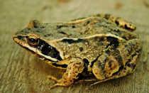 Сообщение о лягушке 3 класс