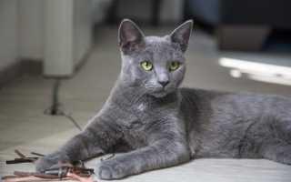 Виды серых кошек