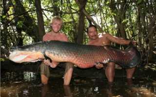 Арапайма рыба фото