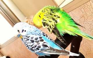 Брачные игры волнистых попугаев