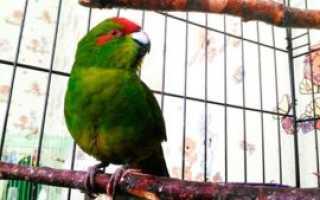 Попугай породы какарик