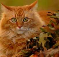Какая порода кошек рыжего окраса