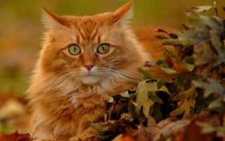 Виды рыжих котов
