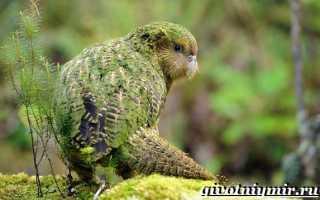 Попугай какапо фото описание