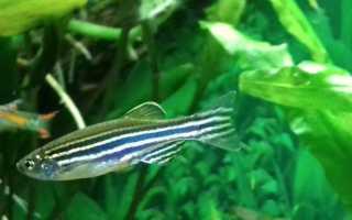 Фотография рыбы данио рерио