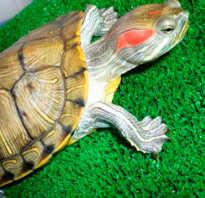 Как отличить пол красноухих черепах