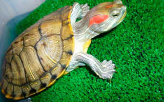 Как определить пол красноухой черепахи фото