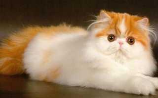 Самые красивые породы котят