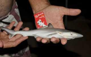 Какая акула самая маленькая