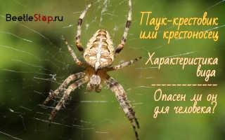 Сколько живет паук крестовик