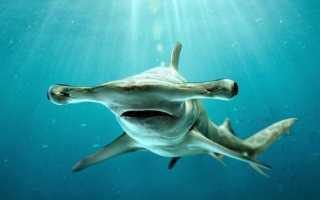 Где живет акула молот