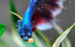 Петушок рыбка чем кормить