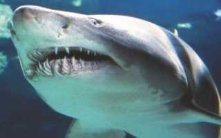 Сколько зубов у китовой акулы