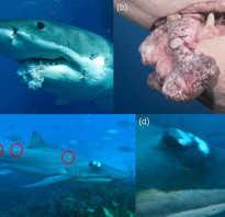 Чем болеют акулы