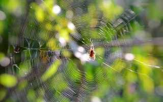 К какому семейству относятся пауки