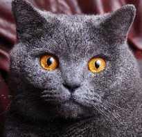 Котята английской породы